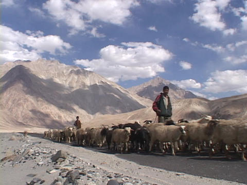 Shepherds lead flocks of sheep on a road through the Himalayas Footage