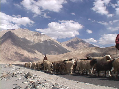 Shepherds lead flocks of sheep on a road through the... Stock Video Footage