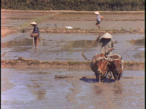 A farmer drives two cows through a muddy field Stock Video Footage