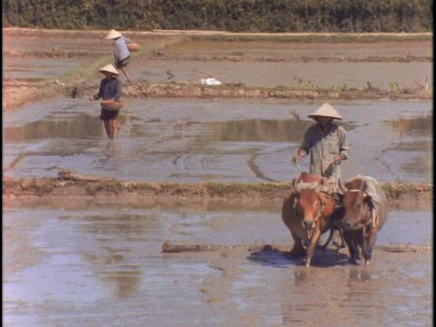 A farmer drives two cows through a muddy field Footage