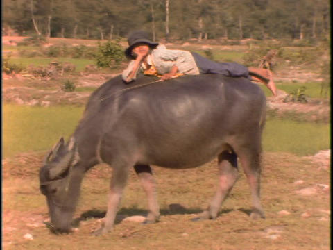 A Vietnamese boy lies on the back of a water buffalo Stock Video Footage
