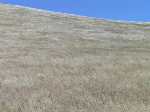 The wind blows the grass in a field in central California Footage