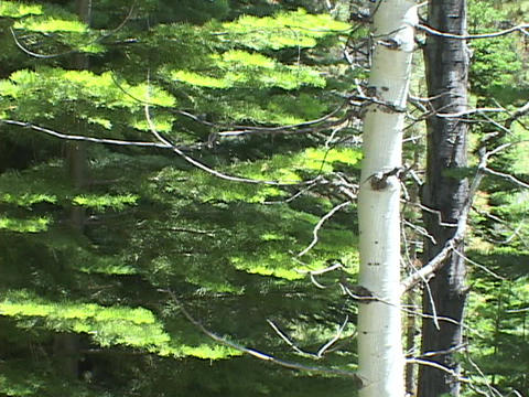 A Poplar tree stands in front of a Pine tree Stock Video Footage