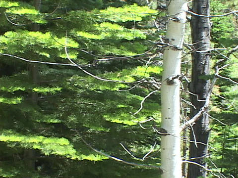 A Poplar tree stands in front of a Pine tree Footage