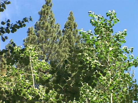 Quaking aspens sway in the breeze Footage