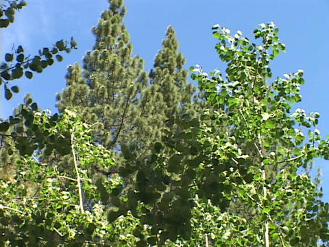 Quaking aspens sway in the breeze Stock Video Footage