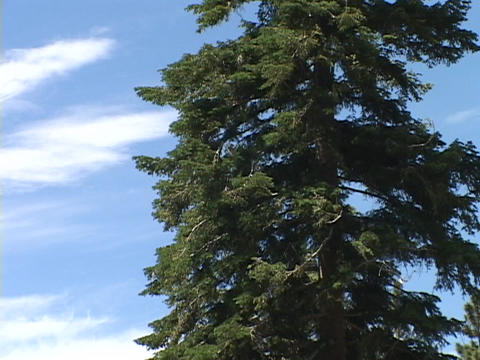 A pine tree stands against white clouds in a blue sky Footage