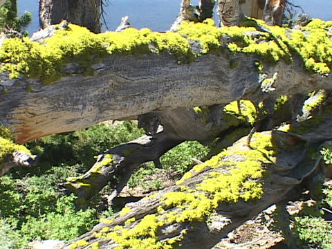 Yellow lichens grow on a fallen tree Stock Video Footage
