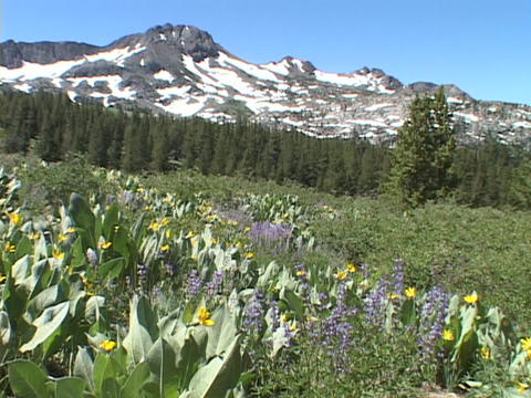 Wildflowers grow in a meadow in the Sierra Nevada Mountains of California Footage