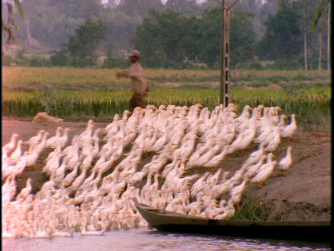 A Vietnamese farmer leads a flock of ducks out of the water Stock Video Footage