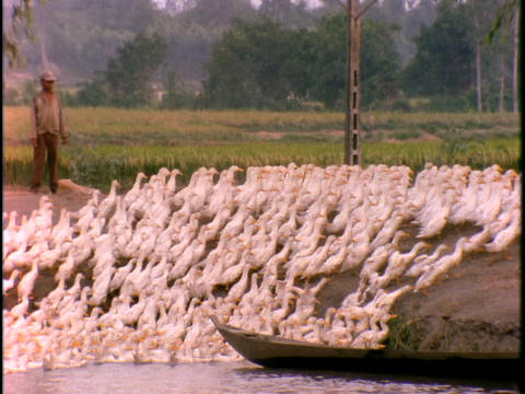 A Vietnamese farmer leads a flock of ducks out of the water Footage