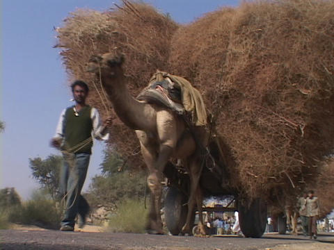 Farmers lead camel carts loaded with wheat Stock Video Footage