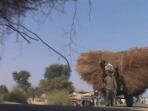 Farmers lead camel carts loaded with wheat Footage