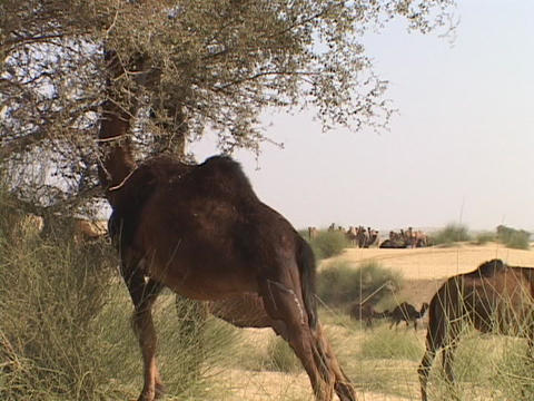 Camels eat from trees in the desert Footage