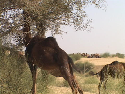 Camels eat from trees in the desert Stock Video Footage