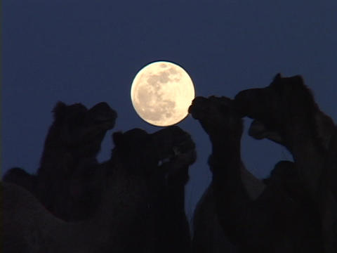 Camels stand in the moonlight Stock Video Footage