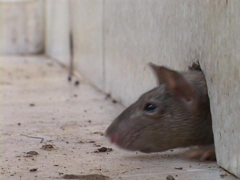 A rat pokes his head through a hole in the wall before... Stock Video Footage