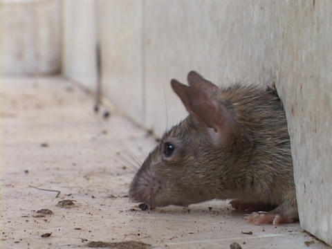 A rat pokes his head through a hole in the wall before coming out Footage
