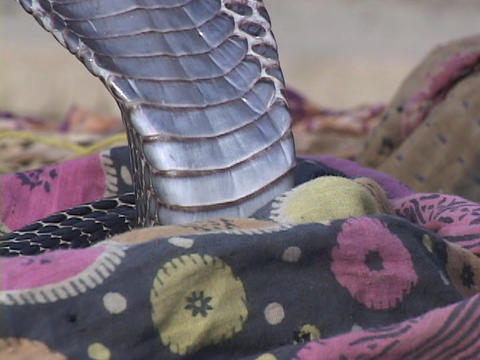 A cobra snake listens to a snake charmer Stock Video Footage