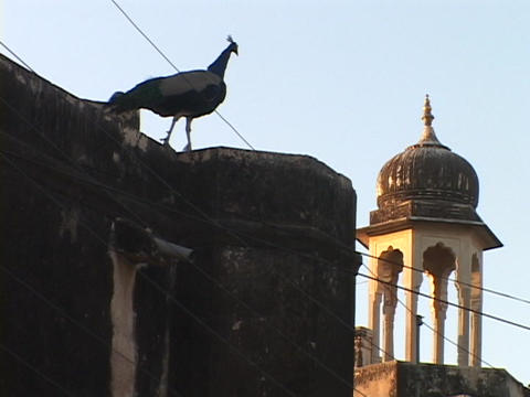 A peacock perches on top of a building near a mosque in... Stock Video Footage