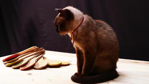 Siamese cat longevity Footage