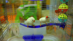 Two birds in a cage are looking funny Live Action