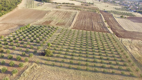 Aerial drone footage of olive plantation. Drone view of beautiful landscape and agriculture Footage