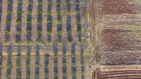 Aerial drone footage of olive plantation. Drone view of beautiful landscape and agriculture Live Action