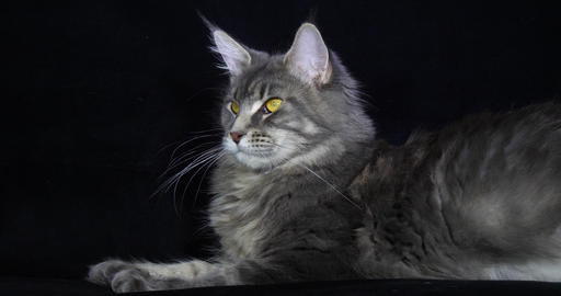 Blue Blotched Tabby Maine Coon Domestic Cat, Female laying against Black Background, Licking, Live Action