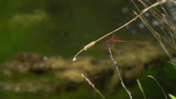 Two dragonflies on a branch above a creek with algae floating in 4k Footage
