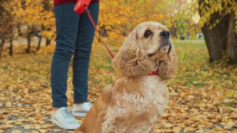 Portrait cocker spaniel in autumn park. Close up dog muzzle sitting in autumn Footage