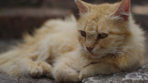 yellow cat resting Stock Video Footage