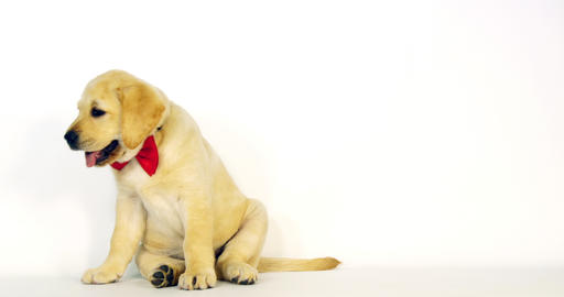 Yellow Labrador Retriever, Puppy wearing a Bow Tie on White Background, yawning, Normandy, Slow Live Action