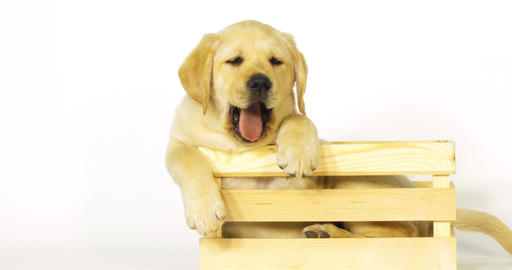 Yellow Labrador Retriever, Puppy Playing in a Box on White Background, yawning, Normandy, Slow Live Action