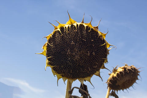 Ripe sunflowers against the blue sky Photo