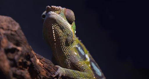 Panther Chameleon, furcifer pardalis, Adult standing on Branch, Madagascar, Slow motion 4K Live Action