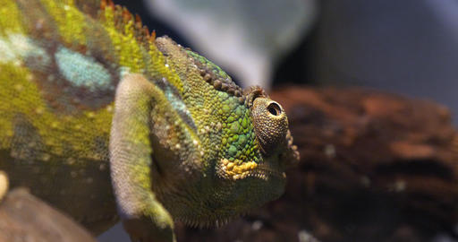 Panther Chameleon, furcifer pardalis, Adult standing on Branch, Madagascar, Slow motion 4K Footage