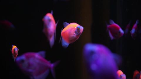 Green Orange Yellow Neon Colorful fluorescent glofish glowfish Gymnocorymbus Archivo