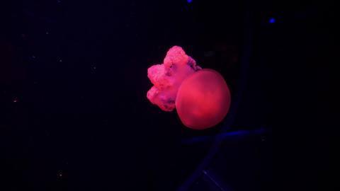 Purple Jellyfish Illuminated With Color Light Underwater. Jelly fish in sea GIF
