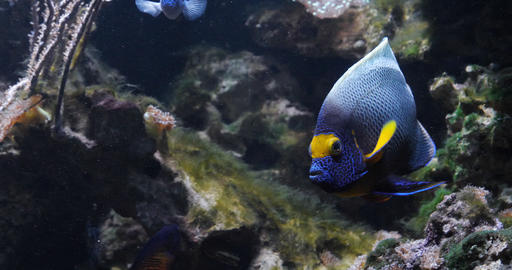 Blueface Angelfish, pomacanthus xanthometopon, Adult near Coral , Fish from the Indian Ocean, Slow Live Action