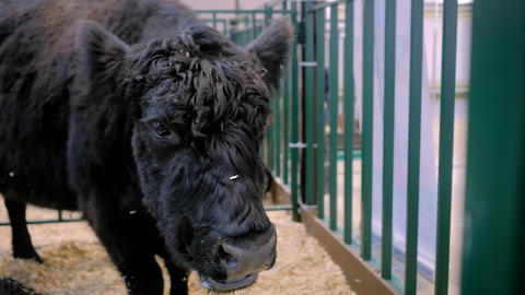 Black bull eating hay at agricultural animal exhibition Archivo