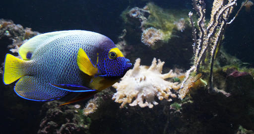 Blueface Angelfish, pomacanthus xanthometopon, Adult near Coral , Fish from the Indian Ocean, Slow Footage