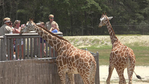 Giraffes Eating at National Park Live Action