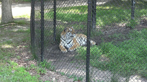 Adult Tiger in Captivity Live Action