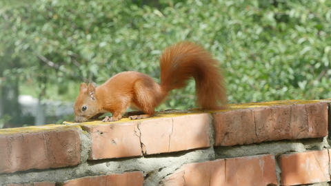 Red Squirrel Footage