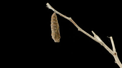 Cocoon Butterfly Time Lapse GIF