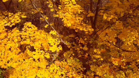 Fall maple trees, yellow orange nature background Footage