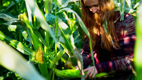 pretty girl tears off corn cob from stalk on maize field Footage