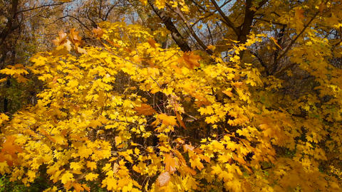 Yellow autumn leaves, close up, vertical panorama Live Action