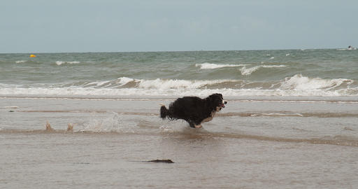 Border Collie Dog, Male Running on the Beach, Normandy, Slow Motiion 4K Live Action